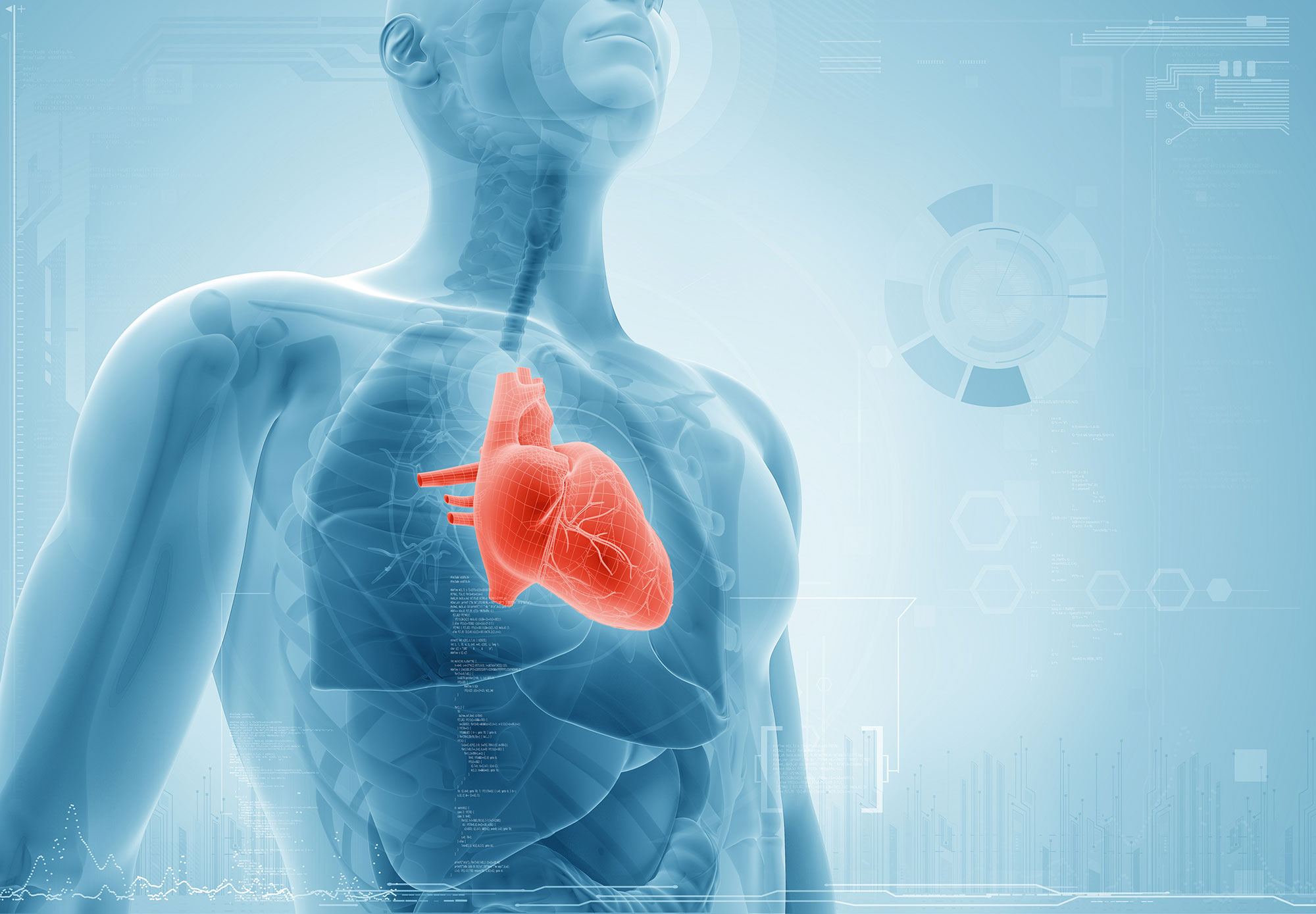 Heart defined within model of a human body